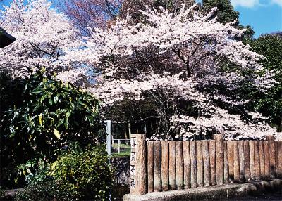 桜と華厳寺橋